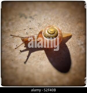 A snail carrying its shell slowly making its way across a patio slab. - Stock Image