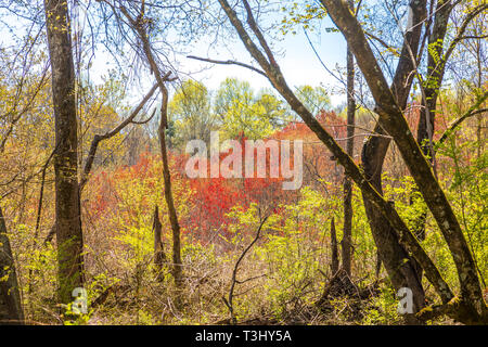 Red Leaves in Spring Forest - Stock Image