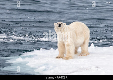 Solitary Polar Bear, Ursus Maritimus, standing on a piece of ice in the arctic sea, Svalbard Archipelago, Norway - Stock Image