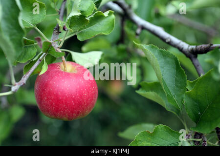 Close-up of apple hanging from tree - Stock Image