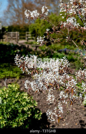 Amelanchier lamarckii, snowy mespilus, juneberry, canadensis. - Stock Image