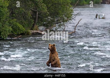 Brown Bear standing in the river, Brooks river, Katmai National Park, Alaska - Stock Image
