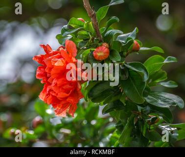 Bright orange flowers of a Pomegranate tree (Punica granatum). Fleurs de grenadier orange vif (Punica granatum) - Stock Image