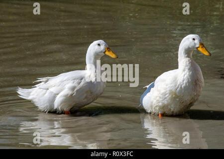 Pair large heavy white Pekin / Aylesbury ducks - Stock Image