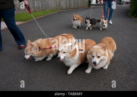 Corgi Dogs, Group of six adults being walked on leads, England, UK - Stock Image