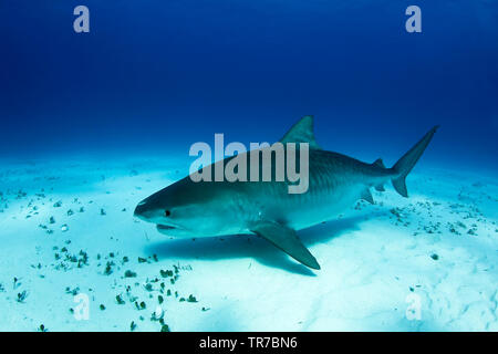 Big, Pregnant Tiger Shark over Sand Bottom. Tiger Beach, Bahamas - Stock Image