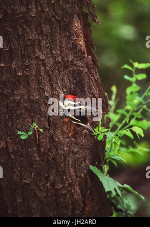 Black-Rumped Flameback Woodpeckers, Dinopium benghalense,two juveniles waiting for parents to return with food,Bharatpur, - Stock Image