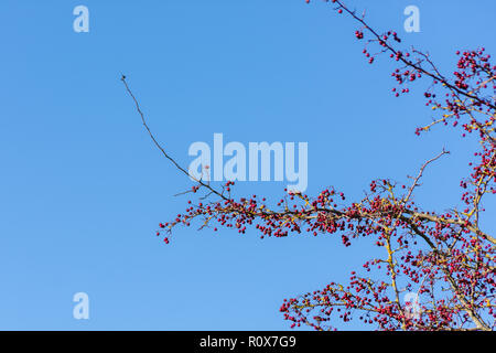 Branches from a Hawthorn (Crataegus Monogyna) with ripe red berries or haws against a blue autumn sky. Chippenham Wiltshire UK - Stock Image
