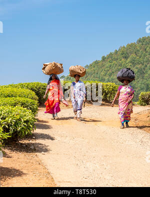 Vertical view of tea plantation workers walking home in Munnar, India. - Stock Image