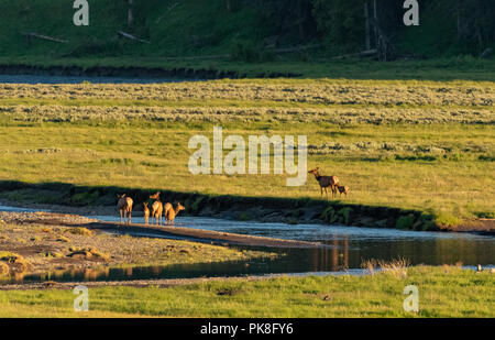 Elk Cross River in Lamar Valley in late Afternoon Light - Stock Image