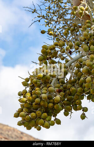 Bunch of unripe dates fruits growing on tropical palm tree close up - Stock Image