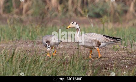 Bar-headed goose (Anser indicus) - Stock Image