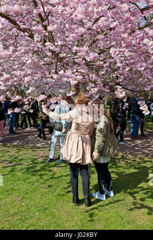 Bispebjerg, Copenhagen, Denmark. 9th April 2017. The Cherry Blossom Avenue at Bispebjerg Cemetery has become extremely - Stock Image