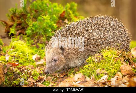 Hedgehog, (Scientific name: Erinaceus Europaeus) wild, native, European hedgehog in natural woodland habitat with green moss in Springtime.Facing left - Stock Image