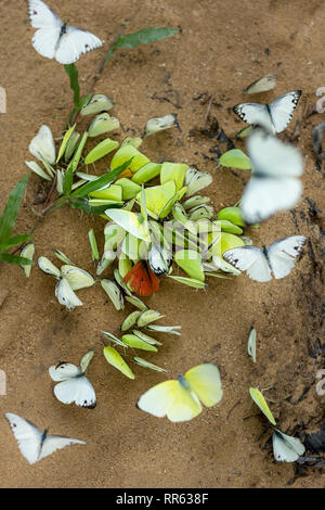 kaleidoscope of common grass yellow butterflies landed on a sandy river beach. - Stock Image