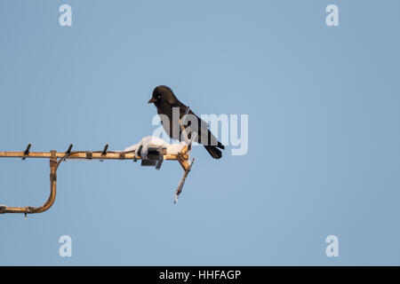 Western jackdaw, also known as the Eurasian jackdaw, European jackdaw, or simply jackdaw, Latin name Corvus monedula, - Stock Image