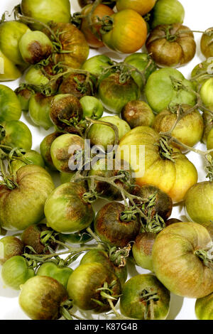 Part of a home grown tomato crop which was devastated by blight, shown against a white background - Stock Image
