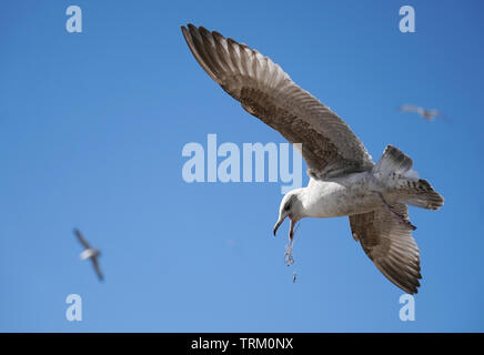 Gulls  at Pier Head Liverpool in Merseyside. - Stock Image