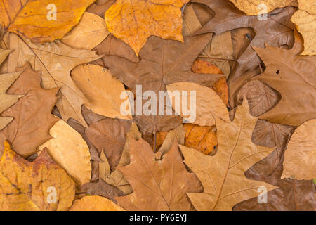Orange gold Autumnal leaves on the ground. Metaphor autumn years, season's end, later life, retirement, Fall, leaf litter, litterfall - Stock Image