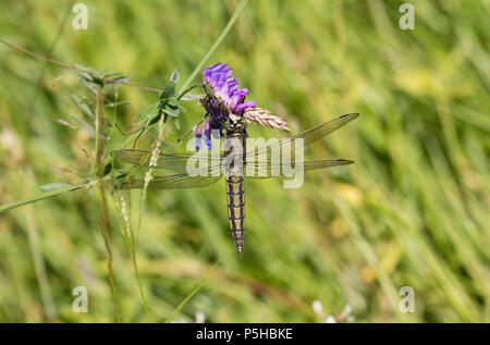 A Black-tailed Skimmer Dragonfly (Orthetrum cancellatum) on a summer evening at Hickling Broad Norfolk Wildlife Trust Reserve. - Stock Image