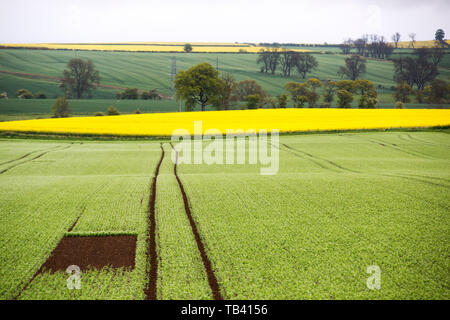 A square left bare in a cereal field to give Skylarks space to breed, Shilbottle, Northumberland, UK - Stock Image