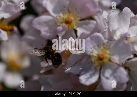 White tailed bumblebee flying over wild rose blossoms - Stock Image