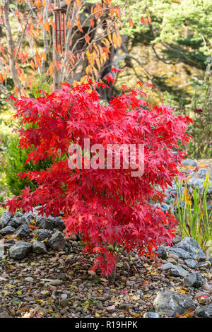 Acer Palmatum Osakazuki, a Japanese maple in full red colour beside a pond in a Devon garden during autumn - Stock Image