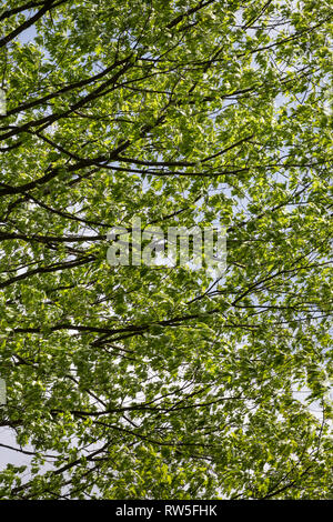 Green Maple Tree Leaves Blowing in Wind - Stock Image