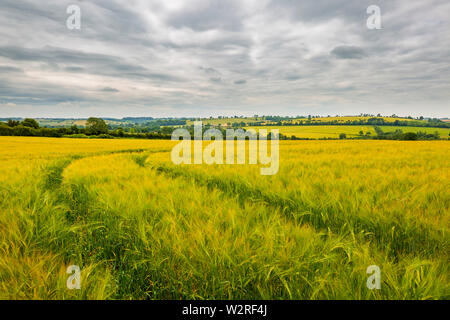 Tracks through the Golden Barley field on a cloudy summers day in the Cotswolds - Stock Image