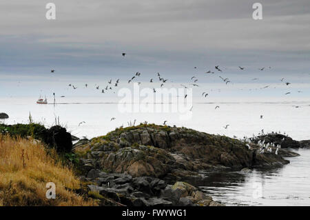 Seagulls are flying up from on rocks at the coast of the North Atlantic in Stø on island Langøya ( Vesterålen - Stock Image