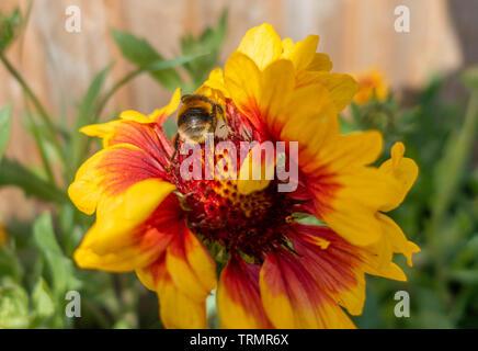 A bumblebee on Gaillardia 'Goblin' flowers in a garden. - Stock Image