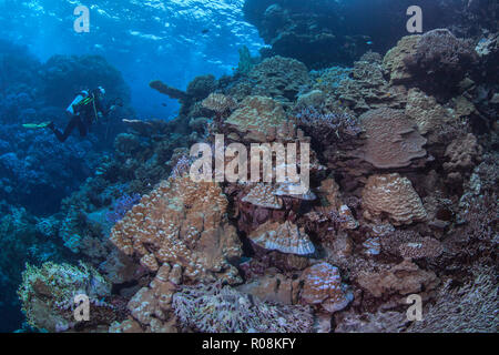 Female scuba diver, videographer photographs glowing Porite coral garden in the Fury Shoals region of the  Red Sea. September, 2018 - Stock Image