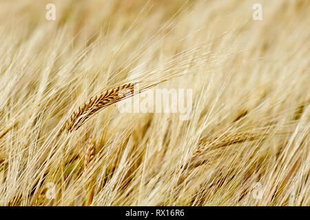 Close up of a single ear of barley ripening in the summer sun. - Stock Image