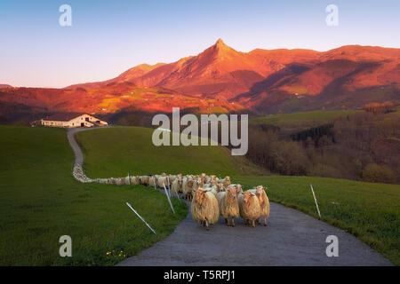 flock of Sheep in Lazkaomendi with view of Txindoki mountain - Stock Image