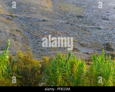 Sheep herd near Vlasici on island Pag in Croatia - Stock Image