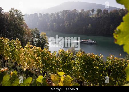 Vineyard on the Rhine river, Eglisau, Canton of Zurich, Switzerland. - Stock Image