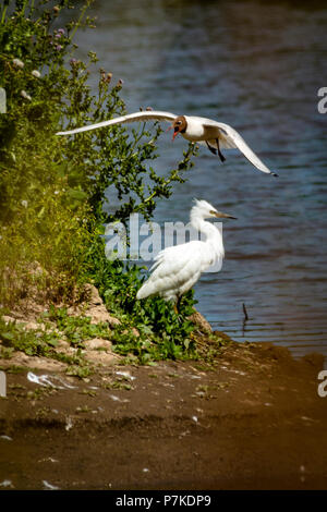 East Riding of Yorkshire, UK. 6th July 2018. Blacktoft sands Google 6th July 2018: Clear blue sky's on a very hot day, Black headed gull warns of Little Egret, Little Egret to close to nest  Clifford Norton Alamy  Live News. Credit: Clifford Norton/Alamy Live News - Stock Image