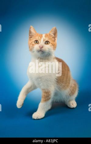 Studio portrait of a very young male orange tabby kitten - Stock Image