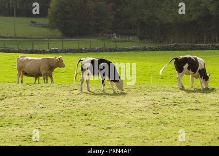 Dairy and beef cattle grazing in open pasture in Cerrigydrudion North Wales UK - Stock Image