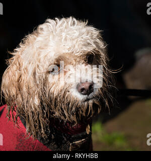 A very muddy terrier dog after a long walk. - Stock Image