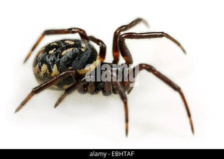A female comb-footed spider (Steatoda albomaculata), on white background. Comb-footed spiders (or Cobweb weavers) - Stock Image
