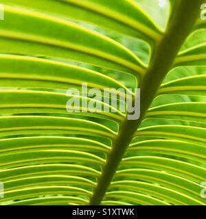 Close up of a palm plant. Tavarua, Fiji. - Stock Image
