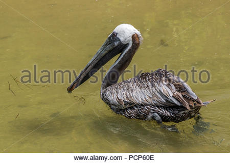 brown pelican - Pelecanus occidentalis - Stock Image