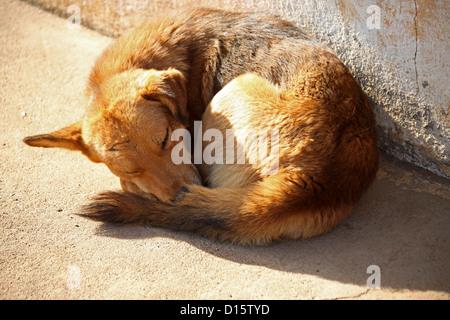 Sleeping Dog, Near Ambositra, Madagascar, Africa. - Stock Image