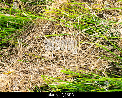 Fresh grass growth at roadside verge. - Stock Image