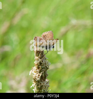 Surrey, UK. 10th June 2018. UK Weather: Butterflies on the North Downs, Surrey. A Common Blue Butterfly Polyommatus icarus female rests on grass in a meadow on the North Downs at Colley Hill, Reigate, Surrey. 1540hrs Sunday 10th June 2018. Photo ©Lindsay Constable / Alamy Live News - Stock Image