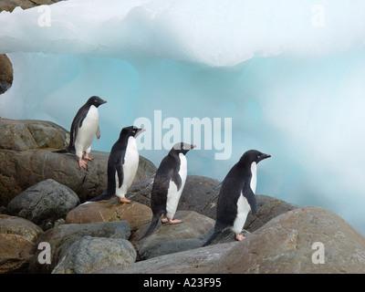 Adelie Penguins Pygoscelis adeliae on a row Antarctica - Stock Image
