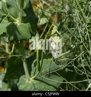 Pea pods Growing in rural english country garden. - Stock Image