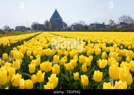 Lisse, Holland - April 18, 2019: Traditional Dutch tulip field with yellow flowers and Engelbewaarders church in the background - Stock Image
