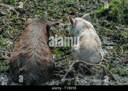Two pigs wallow in a mud bath at the riverside on a hot sunny day, Misiones Department, Paraguay - Stock Image